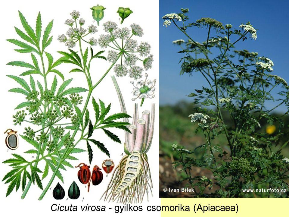 Cicuta virosa - gyilkos csomorika (Apiacaea)