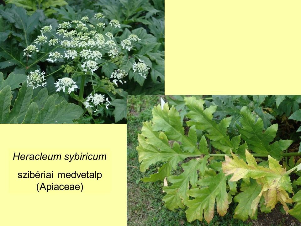 Heracleum sybiricum szibériai medvetalp (Apiaceae)