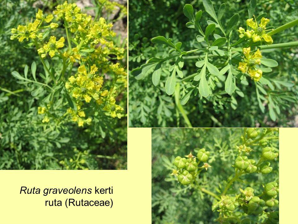 Ruta graveolens kerti ruta (Rutaceae)