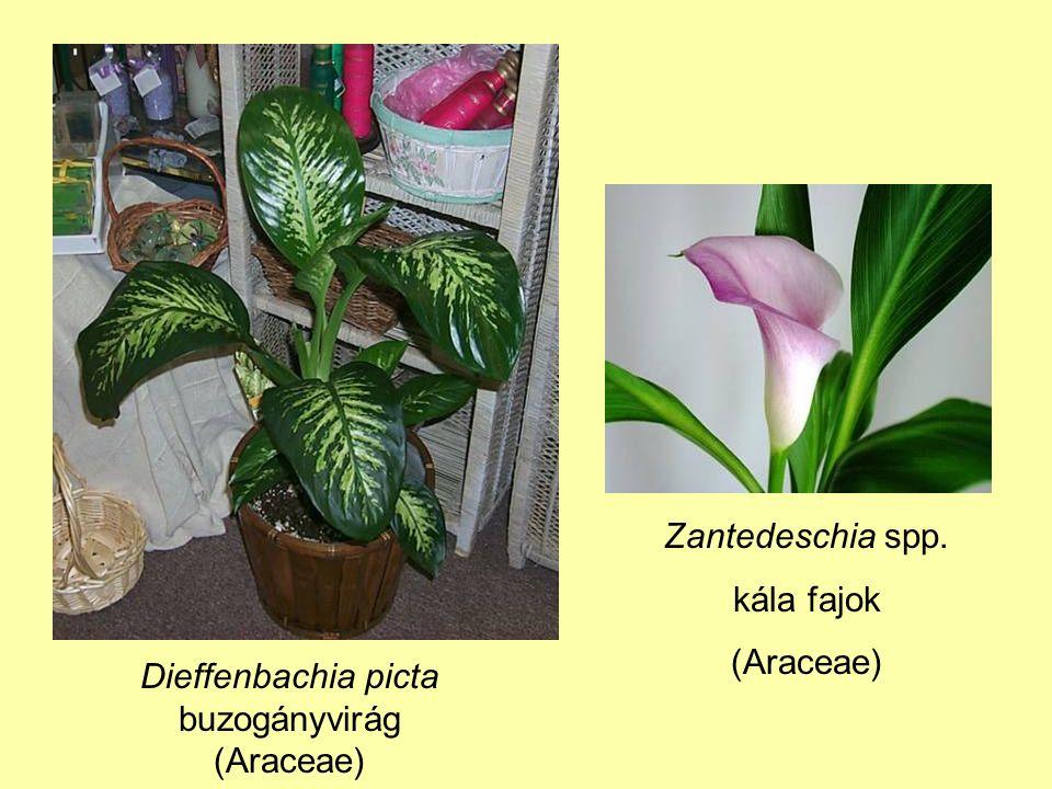Dieffenbachia picta buzogányvirág (Araceae) Zantedeschia spp. kála fajok (Araceae)