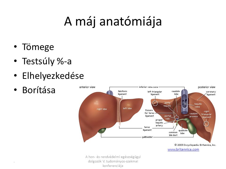 A máj anatómiája Tömege Testsúly %-a Elhelyezkedése Borítása www.britannica.com.