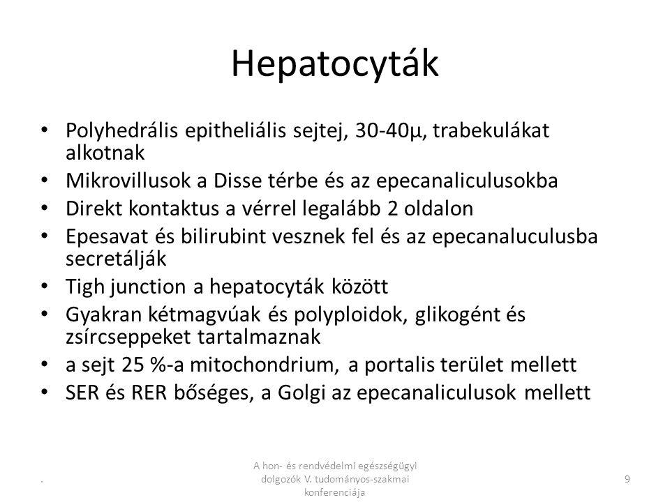 Hepatocyták Polyhedrális epitheliális sejtej, 30-40µ, trabekulákat alkotnak Mikrovillusok a Disse térbe és az epecanaliculusokba Direkt kontaktus a vérrel legalább 2 oldalon Epesavat és bilirubint vesznek fel és az epecanaluculusba secretálják Tigh junction a hepatocyták között Gyakran kétmagvúak és polyploidok, glikogént és zsírcseppeket tartalmaznak a sejt 25 %-a mitochondrium, a portalis terület mellett SER és RER bőséges, a Golgi az epecanaliculusok mellett 9.