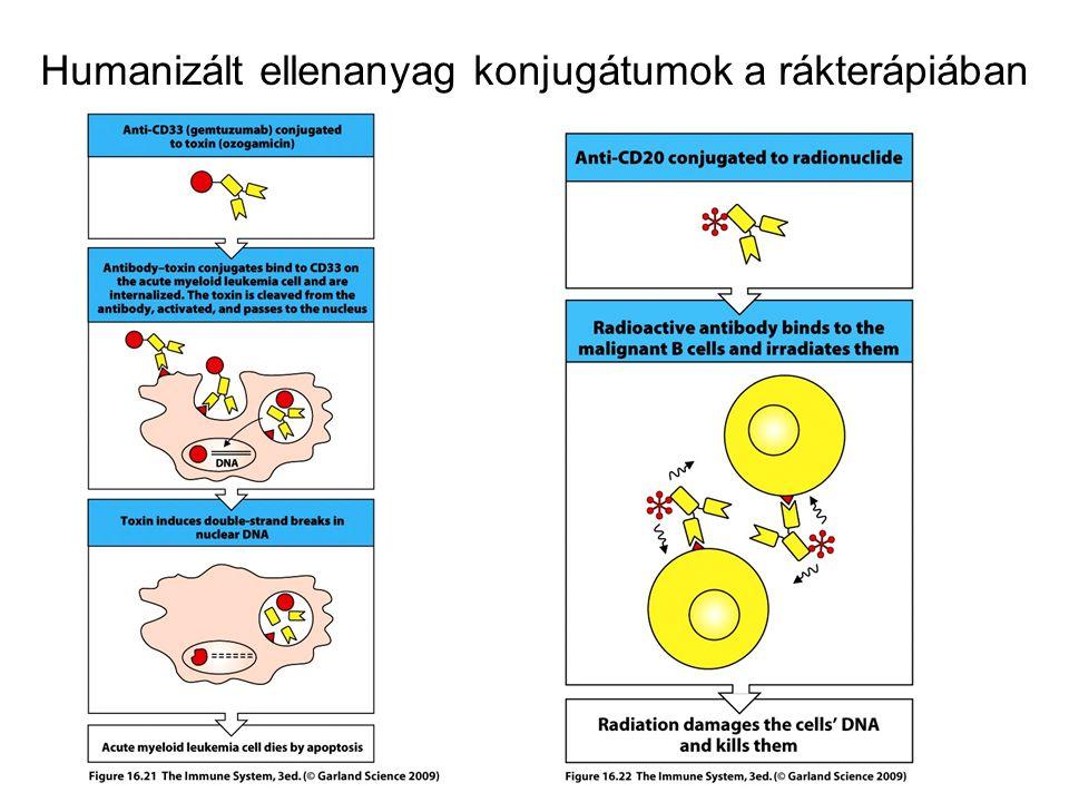 Humanizált ellenanyag konjugátumok a rákterápiában