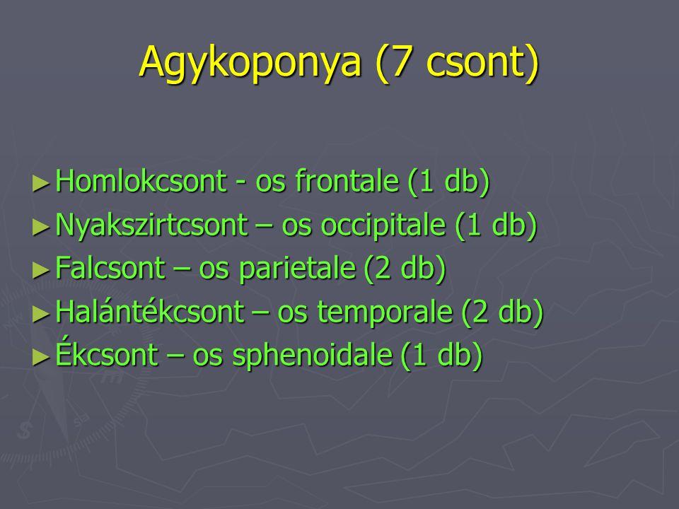 Agykoponya (7 csont) ► Homlokcsont - os frontale (1 db) ► Nyakszirtcsont – os occipitale (1 db) ► Falcsont – os parietale (2 db) ► Halántékcsont – os