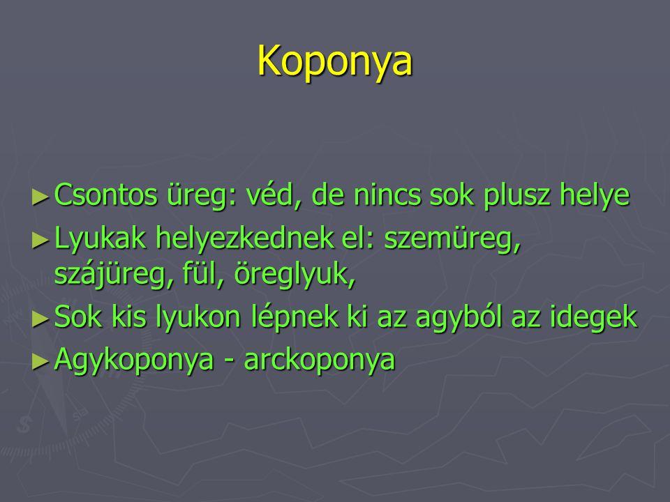 Agykoponya (7 csont) ► Homlokcsont - os frontale (1 db) ► Nyakszirtcsont – os occipitale (1 db) ► Falcsont – os parietale (2 db) ► Halántékcsont – os temporale (2 db) ► Ékcsont – os sphenoidale (1 db)
