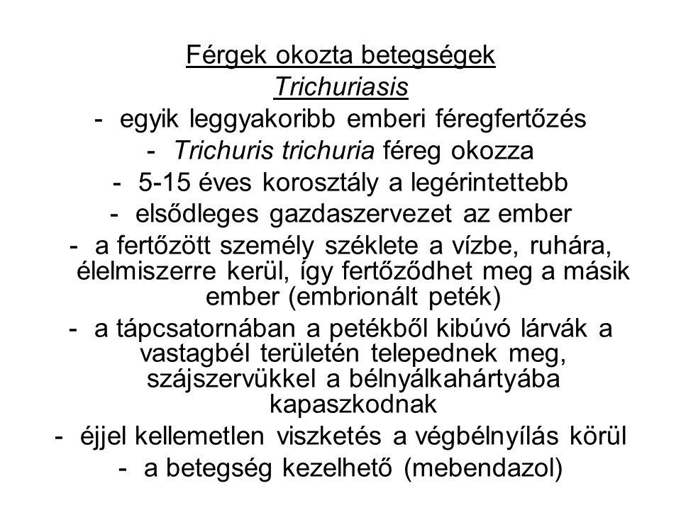 Férgek okozta betegségek Trichuriasis -egyik leggyakoribb emberi féregfertőzés -Trichuris trichuria féreg okozza -5-15 éves korosztály a legérintettebb -elsődleges gazdaszervezet az ember -a fertőzött személy széklete a vízbe, ruhára, élelmiszerre kerül, így fertőződhet meg a másik ember (embrionált peték) -a tápcsatornában a petékből kibúvó lárvák a vastagbél területén telepednek meg, szájszervükkel a bélnyálkahártyába kapaszkodnak -éjjel kellemetlen viszketés a végbélnyílás körül -a betegség kezelhető (mebendazol)