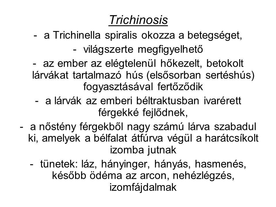 Trichinosis -a Trichinella spiralis okozza a betegséget, -világszerte megfigyelhető -az ember az elégtelenül hőkezelt, betokolt lárvákat tartalmazó hús (elsősorban sertéshús) fogyasztásával fertőződik -a lárvák az emberi béltraktusban ivarérett férgekké fejlődnek, -a nőstény férgekből nagy számú lárva szabadul ki, amelyek a bélfalat átfúrva végül a harátcsíkolt izomba jutnak -tünetek: láz, hányinger, hányás, hasmenés, később ödéma az arcon, nehézlégzés, izomfájdalmak
