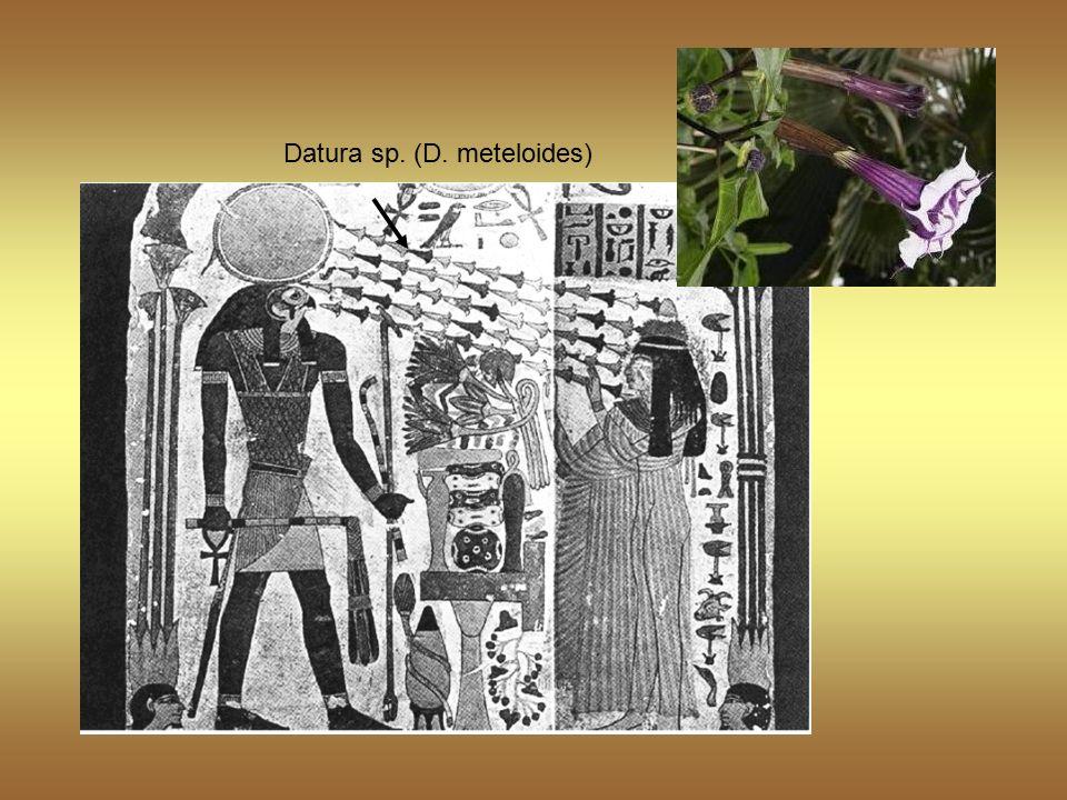 Datura sp. (D. meteloides)