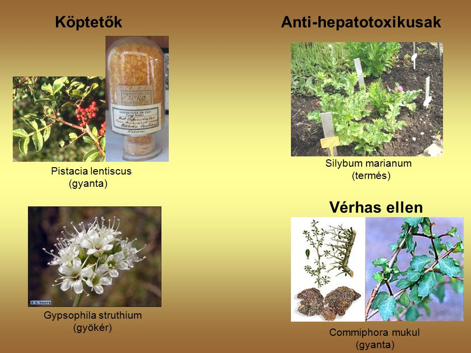 Köptetők Vérhas ellen Pistacia lentiscus (gyanta) Commiphora mukul (gyanta) Gypsophila struthium (gyökér) Anti-hepatotoxikusak Silybum marianum (termés)