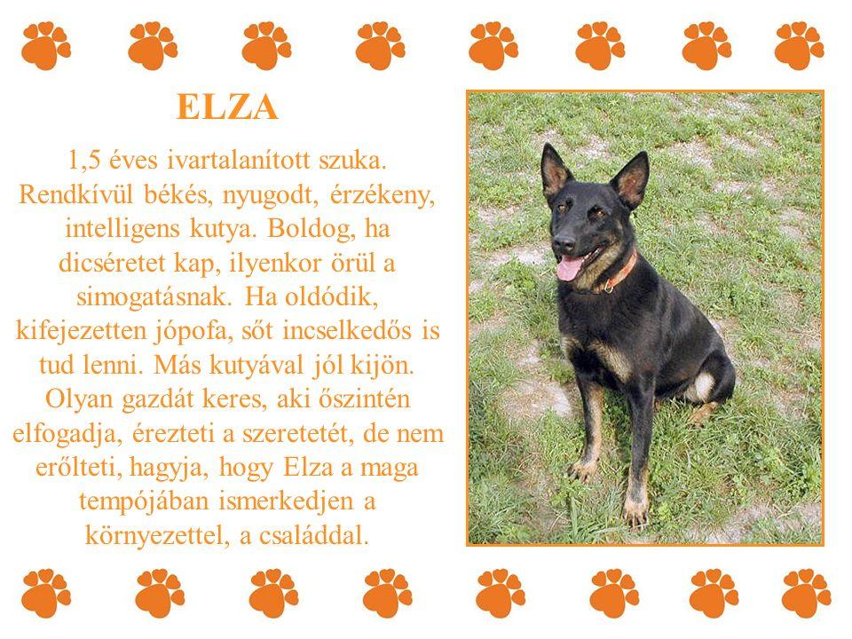 ELZA 1,5 éves ivartalanított szuka. Rendkívül békés, nyugodt, érzékeny, intelligens kutya.