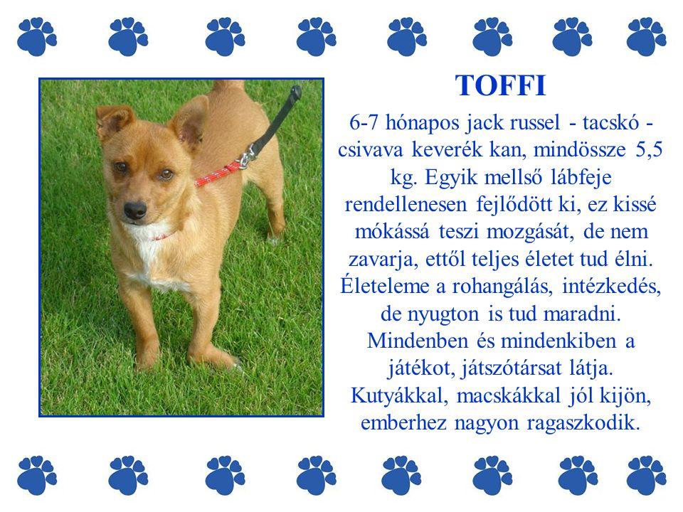 TOFFI 6-7 hónapos jack russel - tacskó - csivava keverék kan, mindössze 5,5 kg.