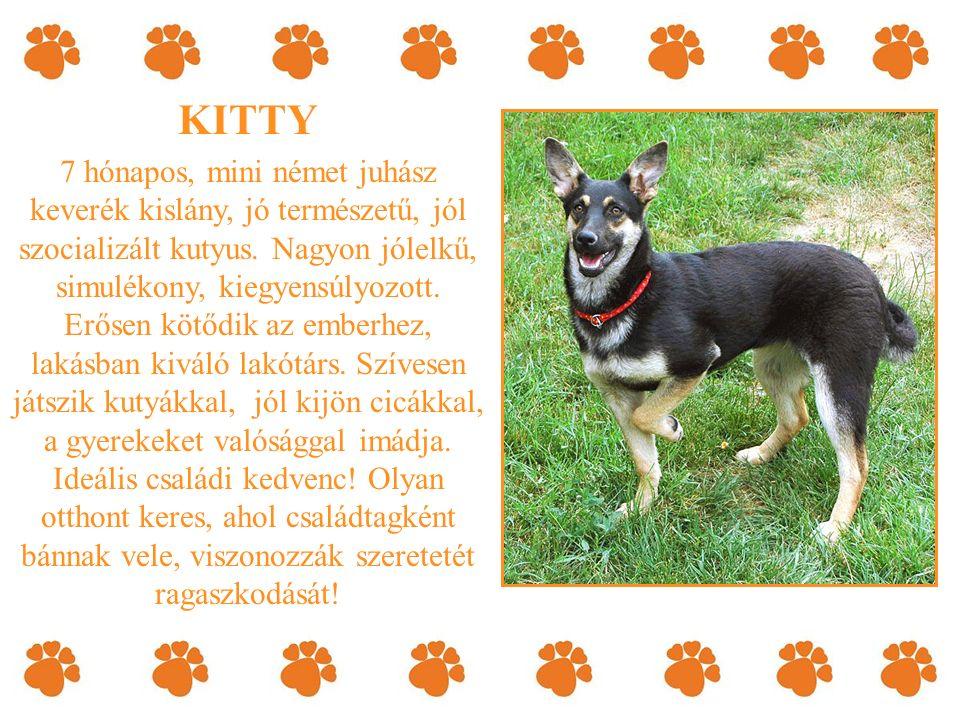 KITTY 7 hónapos, mini német juhász keverék kislány, jó természetű, jól szocializált kutyus.