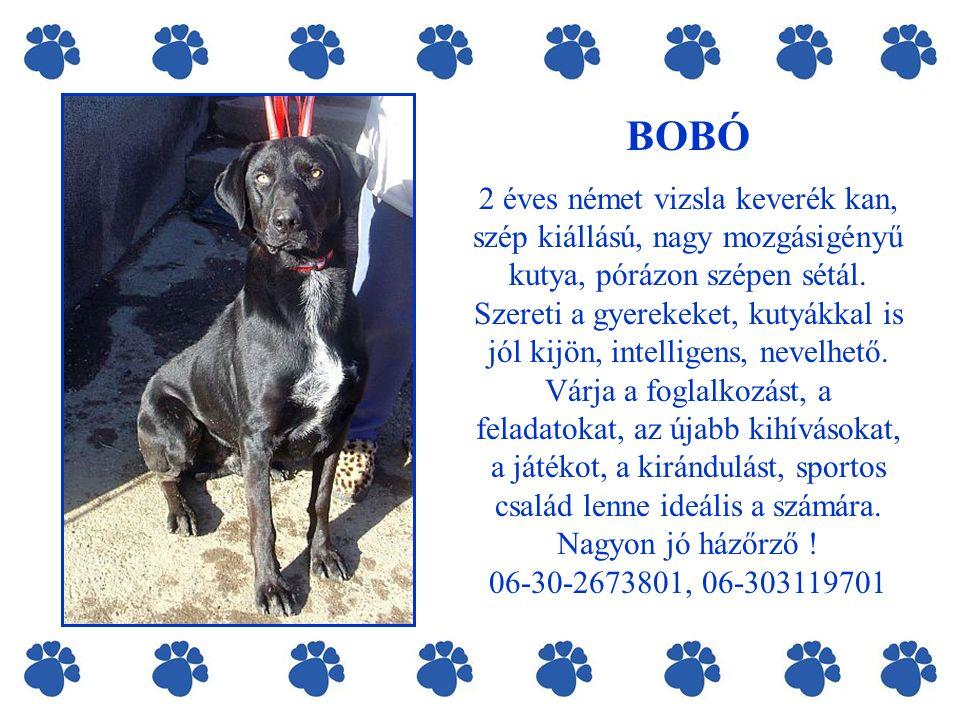 BOBÓ 2 éves német vizsla keverék kan, szép kiállású, nagy mozgásigényű kutya, pórázon szépen sétál.