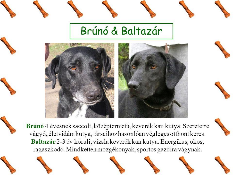 Brúnó & Baltazár Brúnó 4 évesnek saccolt, középtermetű, keverék kan kutya. Szeretetre vágyó, életvidám kutya, társaihoz hasonlóan végleges otthont ker