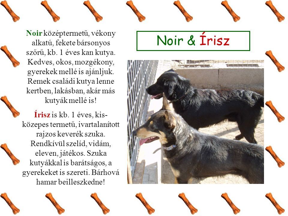 Noir & Írisz Noir középtermetű, vékony alkatú, fekete bársonyos szőrű, kb. 1 éves kan kutya. Kedves, okos, mozgékony, gyerekek mellé is ajánljuk. Reme