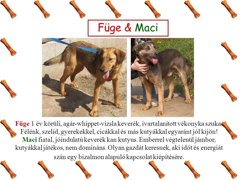 Füge & Maci Füge 1 év körüli, agár-whippet-vizsla keverék, ivartalanított vékonyka szuka. Félénk, szelíd, gyerekekkel, cicákkal és más kutyákkal egyar