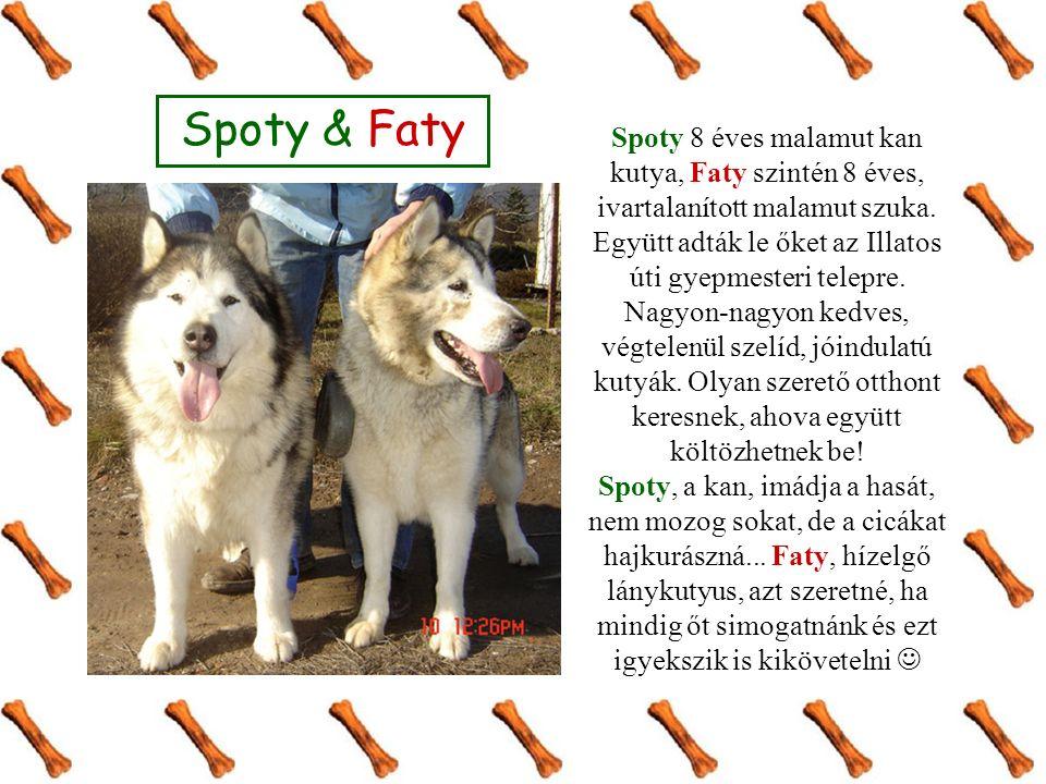 Spoty 8 éves malamut kan kutya, Faty szintén 8 éves, ivartalanított malamut szuka. Együtt adták le őket az Illatos úti gyepmesteri telepre. Nagyon-nag