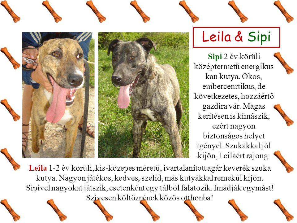 Leila & Sipi Sipi 2 év körüli középtermetű energikus kan kutya. Okos, embercenrtikus, de következetes, hozzáértő gazdira vár. Magas kerítésen is kimás