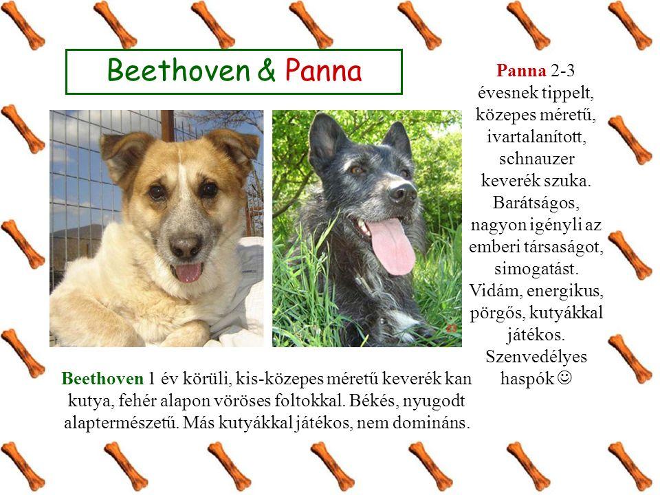 Beethoven & Panna Beethoven 1 év körüli, kis-közepes méretű keverék kan kutya, fehér alapon vöröses foltokkal.