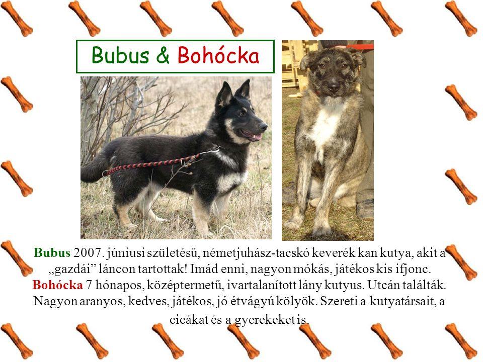 """Bubus & Bohócka Bubus 2007. júniusi születésű, németjuhász-tacskó keverék kan kutya, akit a """"gazdái"""" láncon tartottak! Imád enni, nagyon mókás, játéko"""
