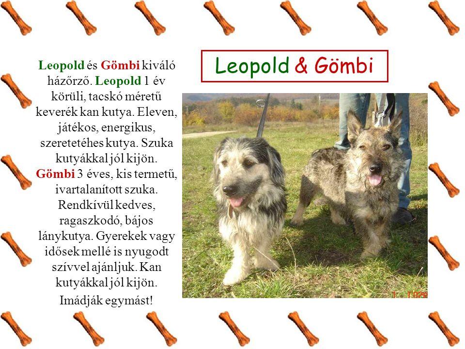Leopold és Gömbi kiváló házőrző. Leopold 1 év körüli, tacskó méretű keverék kan kutya.