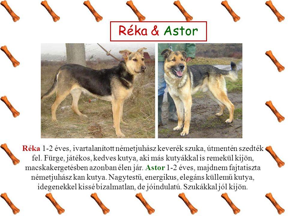 Réka & Astor Réka 1-2 éves, ivartalanított németjuhász keverék szuka, útmentén szedték fel. Fürge, játékos, kedves kutya, aki más kutyákkal is remekül