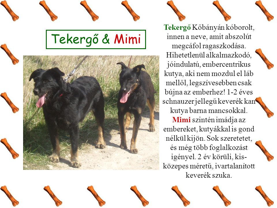 Tekergő & Mimi Tekergő Kőbányán kóborolt, innen a neve, amit abszolút megcáfol ragaszkodása. Hihetetlenül alkalmazkodó, jóindulatú, embercentrikus kut