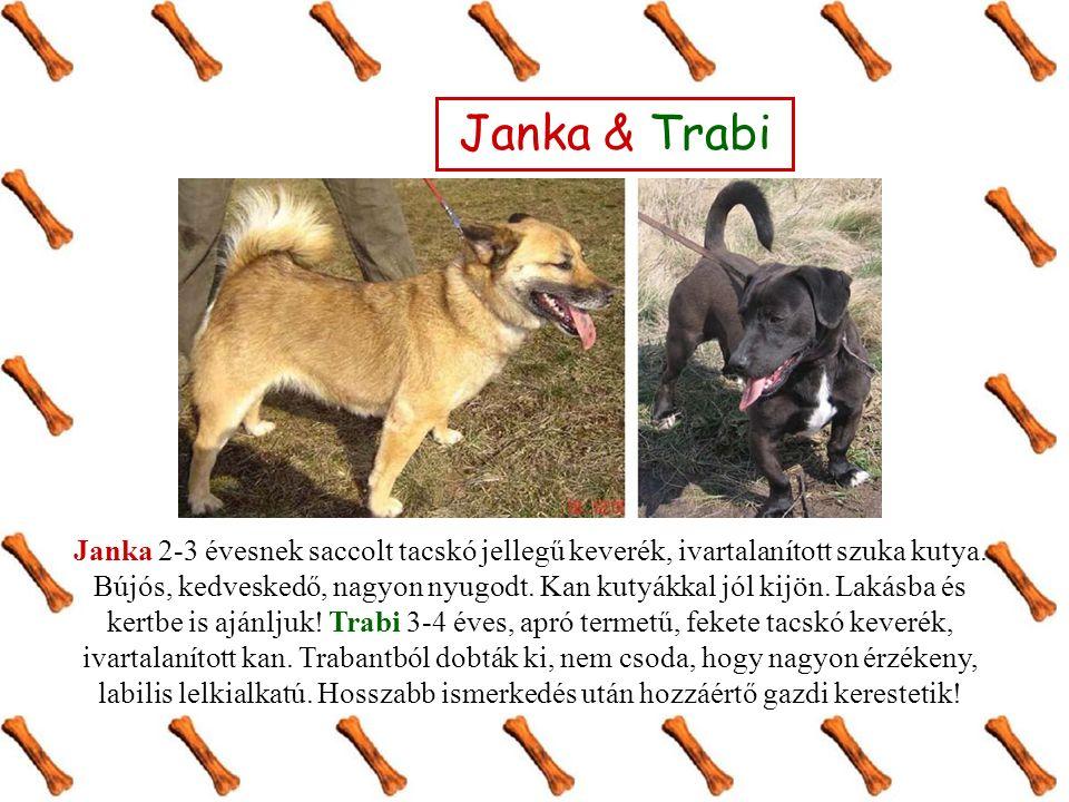 Janka & Trabi Janka 2-3 évesnek saccolt tacskó jellegű keverék, ivartalanított szuka kutya. Bújós, kedveskedő, nagyon nyugodt. Kan kutyákkal jól kijön