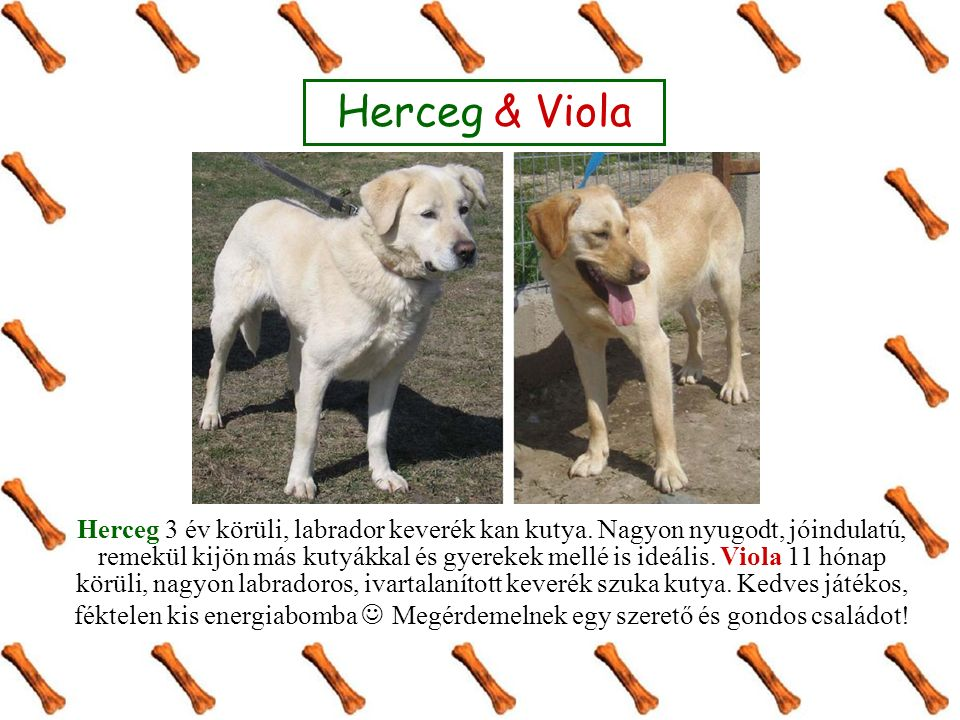 Herceg & Viola Herceg 3 év körüli, labrador keverék kan kutya. Nagyon nyugodt, jóindulatú, remekül kijön más kutyákkal és gyerekek mellé is ideális. V