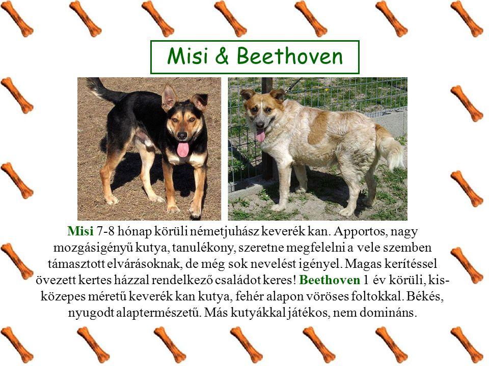 Misi & Beethoven Misi 7-8 hónap körüli németjuhász keverék kan. Apportos, nagy mozgásigényű kutya, tanulékony, szeretne megfelelni a vele szemben táma