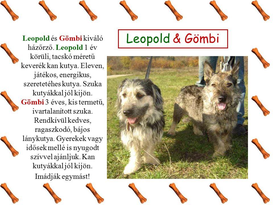Leopold és Gömbi kiváló házőrző. Leopold 1 év körüli, tacskó méretű keverék kan kutya. Eleven, játékos, energikus, szeretetéhes kutya. Szuka kutyákkal