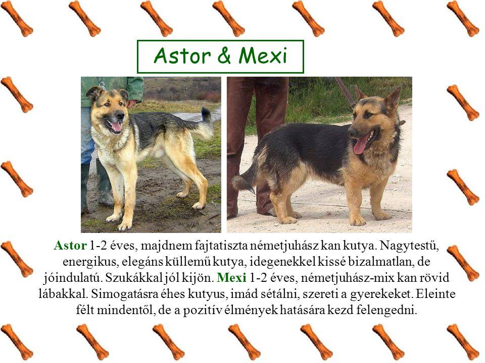 Astor 1-2 éves, majdnem fajtatiszta németjuhász kan kutya. Nagytestű, energikus, elegáns küllemű kutya, idegenekkel kissé bizalmatlan, de jóindulatú.