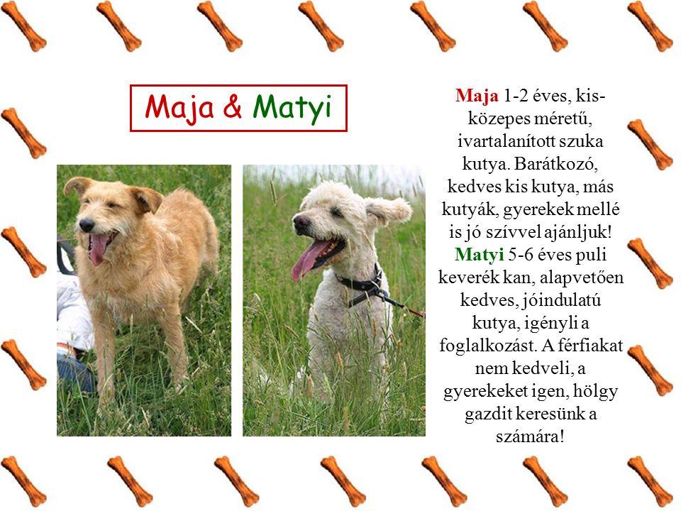 Maja 1-2 éves, kis- közepes méretű, ivartalanított szuka kutya. Barátkozó, kedves kis kutya, más kutyák, gyerekek mellé is jó szívvel ajánljuk! Matyi