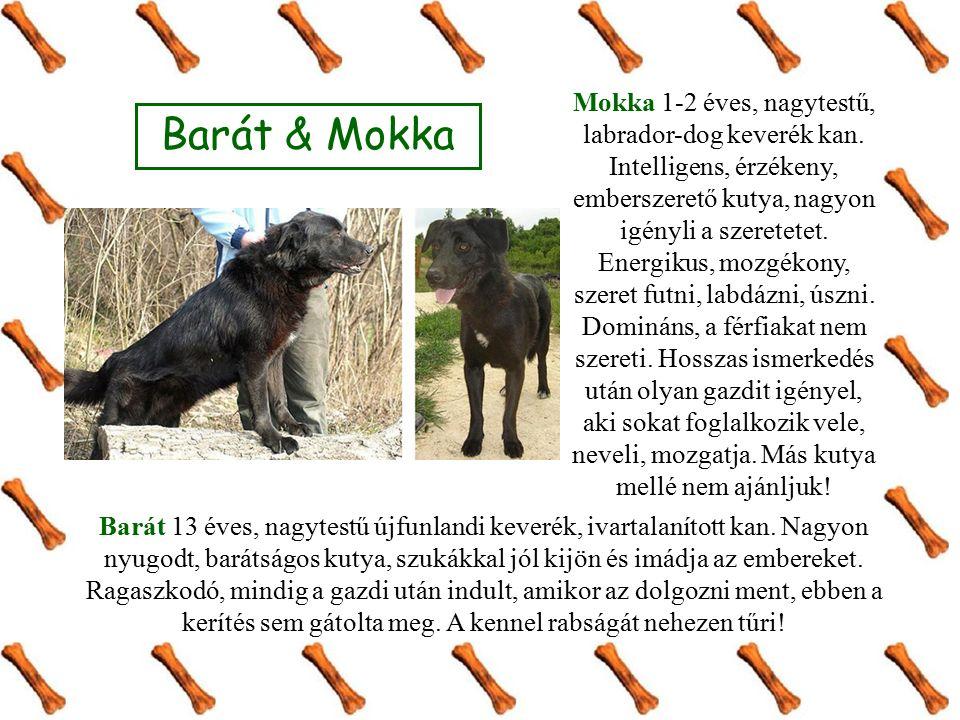 Barát & Mokka Barát 13 éves, nagytestű újfunlandi keverék, ivartalanított kan. Nagyon nyugodt, barátságos kutya, szukákkal jól kijön és imádja az embe