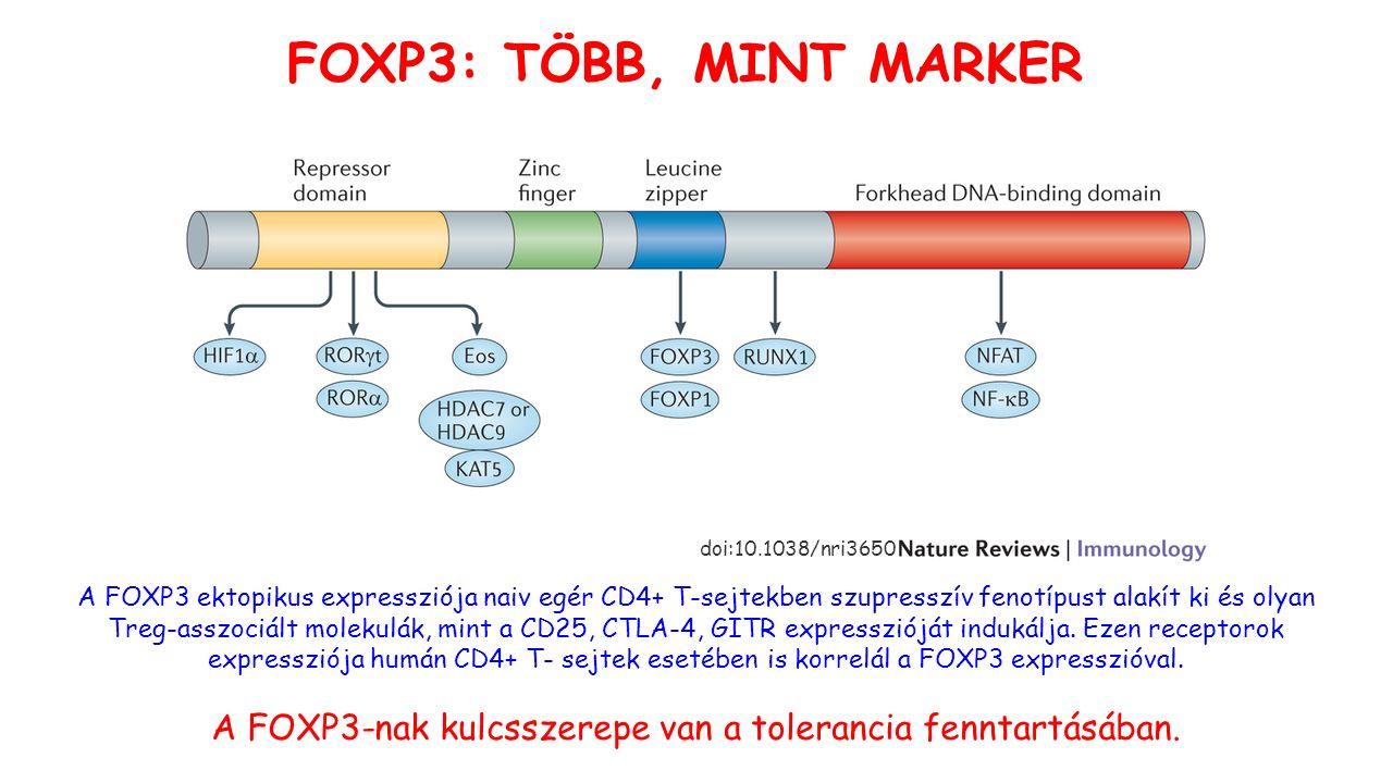 FOXP3: TÖBB, MINT MARKER A FOXP3-nak kulcsszerepe van a tolerancia fenntartásában.