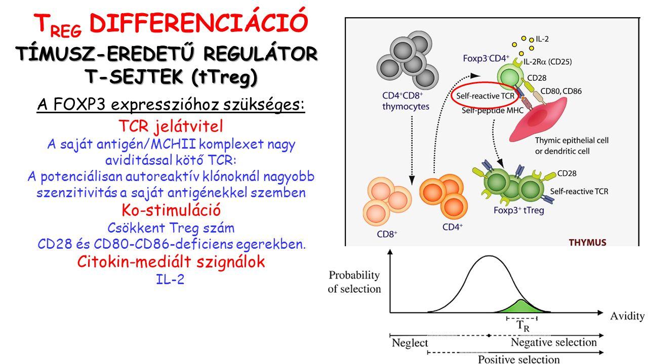 TÍMUSZ-EREDETŰ REGULÁTOR T-SEJTEK (tTreg) A FOXP3 expresszióhoz szükséges: TCR jelátvitel A saját antigén/MCHII komplexet nagy aviditással kötő TCR: A potenciálisan autoreaktív klónoknál nagyobb szenzitivitás a saját antigénekkel szemben Ko-stimuláció Csökkent Treg szám CD28 és CD80-CD86-deficiens egerekben.