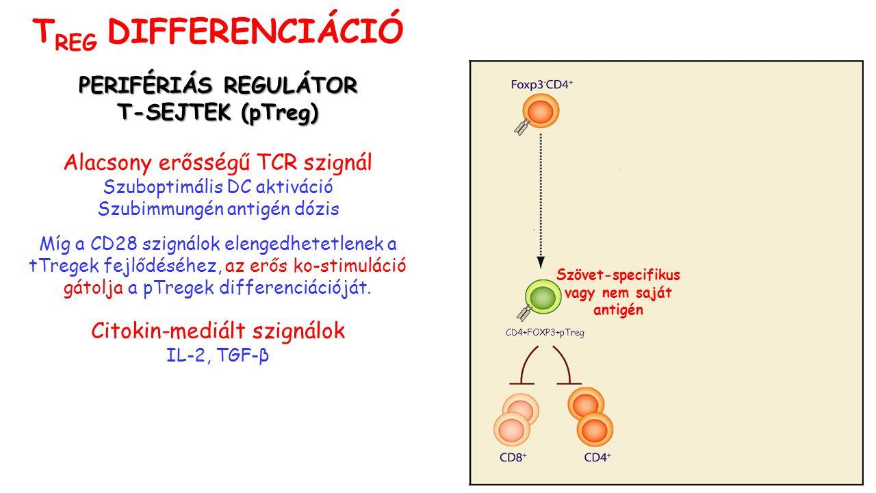 PERIFÉRIÁS REGULÁTOR T-SEJTEK (pTreg) T-SEJTEK (pTreg) Alacsony erősségű TCR szignál Szuboptimális DC aktiváció Szubimmungén antigén dózis Míg a CD28 szignálok elengedhetetlenek a tTregek fejlődéséhez, az erős ko-stimuláció gátolja a pTregek differenciációját.
