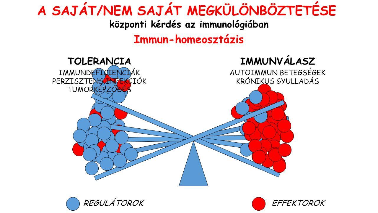 A SAJÁT/NEM SAJÁT MEGKÜLÖNBÖZTETÉSE központi kérdés az immunológiában IMMUNVÁLASZTOLERANCIA REGULÁTOROKEFFEKTOROK Immun-homeosztázis AUTOIMMUN BETEGSÉGEK KRÓNIKUS GYULLADÁS IMMUNDEFICIENCIÁK PERZISZTENS INFEKCIÓK TUMORKÉPZŐDÉS