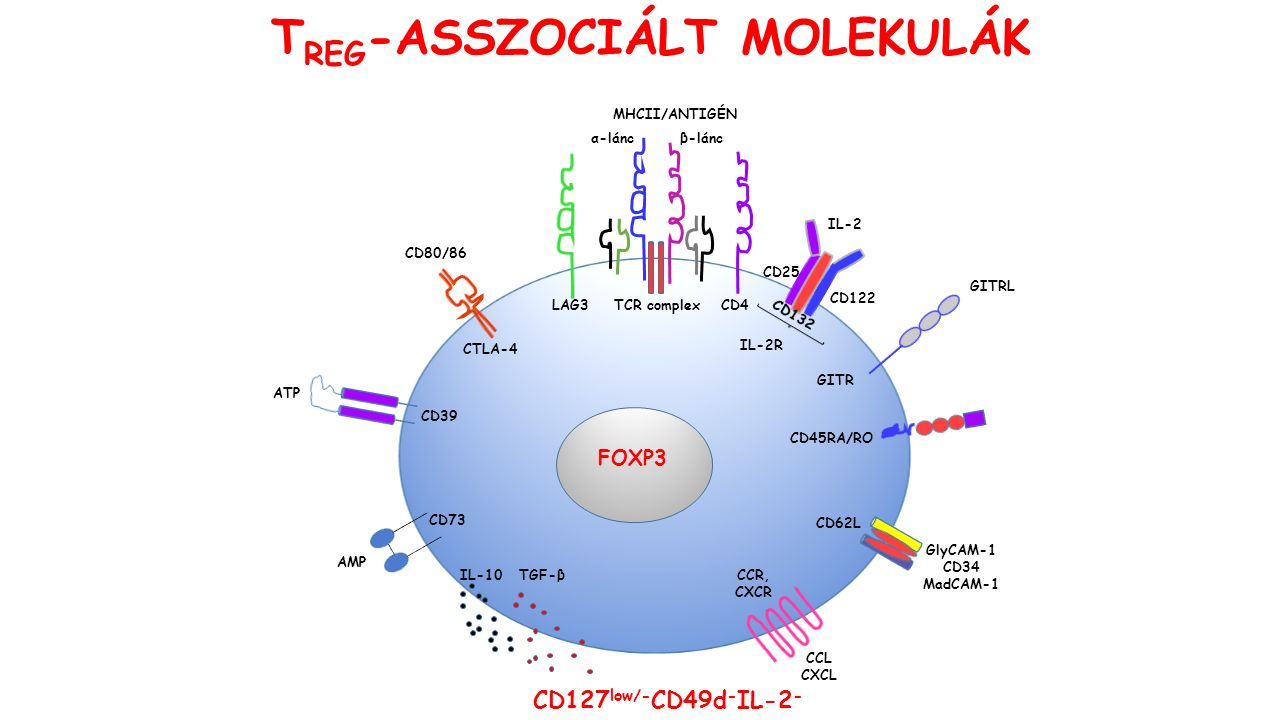 CD45RA/RO FOXP3 TGF-βIL-10 CTLA-4 CD80/86 CD39 ATP CD73 AMP GITRL GITR TCR complexCD4 MHCII/ANTIGÉN CCR, CXCR CCL CXCL CD127 low/- CD49d - IL-2 - T REG -ASSZOCIÁLT MOLEKULÁK α-láncβ-lánc CD25 CD122 IL-2 IL-2R LAG3 CD62L GlyCAM-1 CD34 MadCAM-1