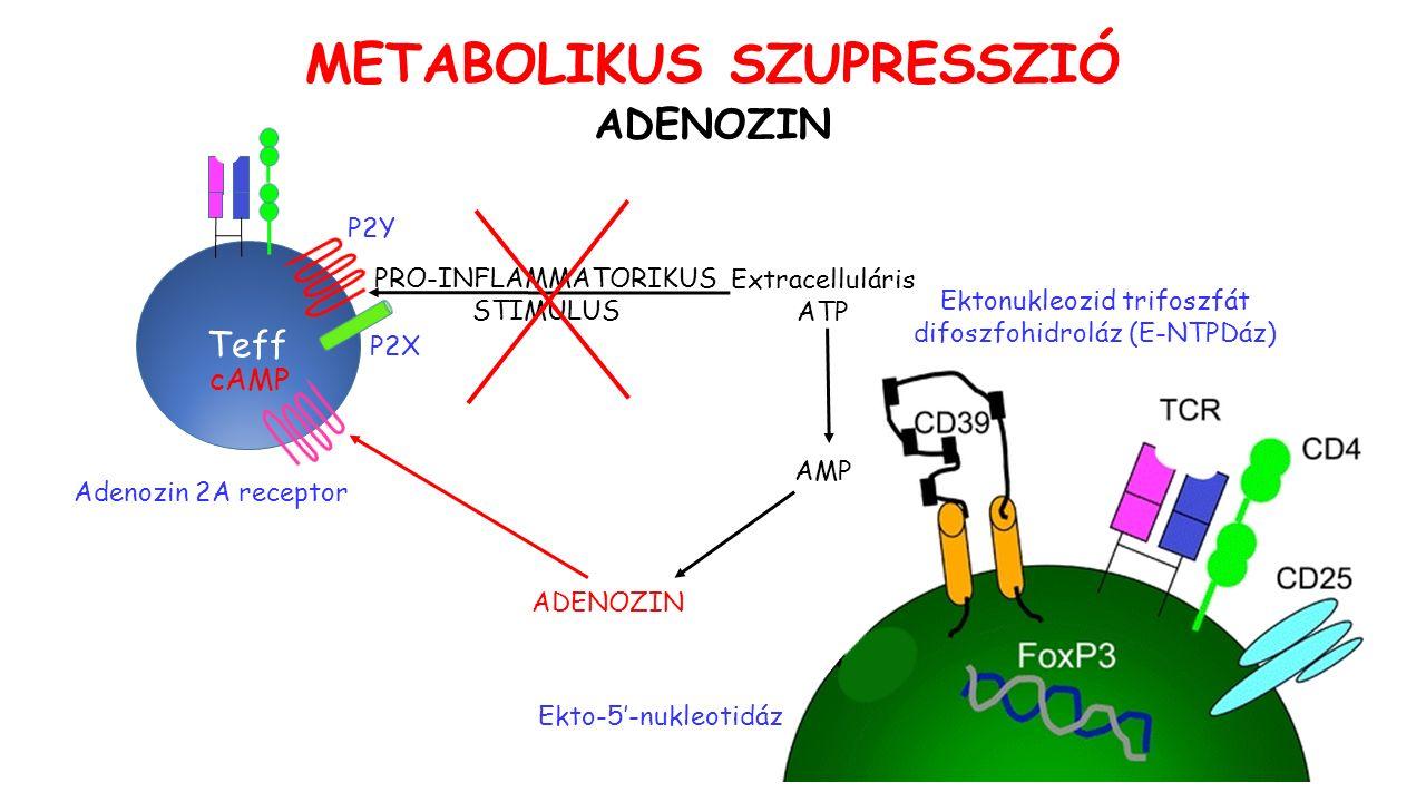 ADENOZIN Extracelluláris ATP AMP Ektonukleozid trifoszfát difoszfohidroláz (E-NTPDáz) ADENOZIN Ekto-5'-nukleotidáz Teff PRO-INFLAMMATORIKUS STIMULUS Adenozin 2A receptor METABOLIKUS SZUPRESSZIÓ P2X P2Y cAMP