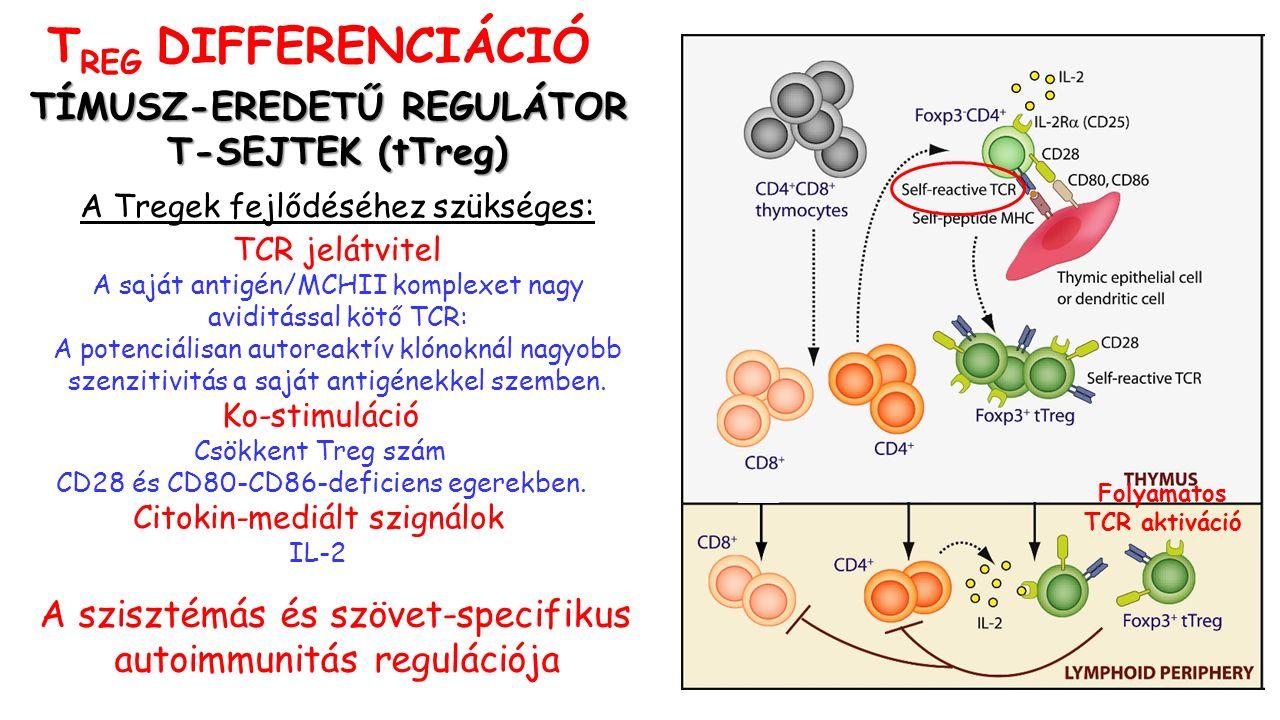A szisztémás és szövet-specifikus autoimmunitás regulációja Folyamatos TCR aktiváció TÍMUSZ-EREDETŰ REGULÁTOR T-SEJTEK (tTreg) A Tregek fejlődéséhez szükséges: TCR jelátvitel A saját antigén/MCHII komplexet nagy aviditással kötő TCR: A potenciálisan autoreaktív klónoknál nagyobb szenzitivitás a saját antigénekkel szemben.