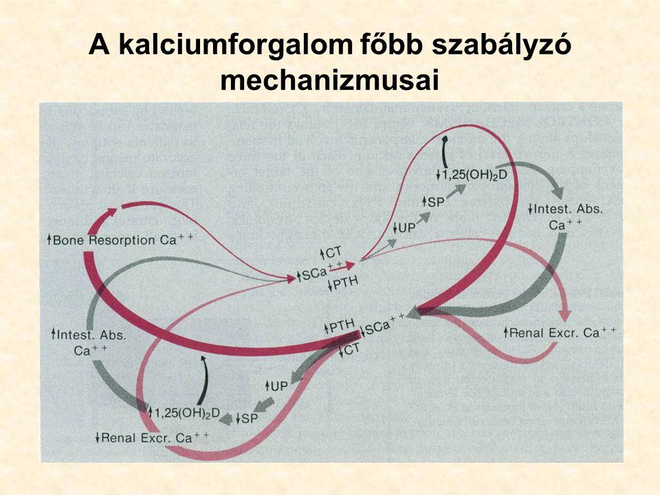 A kalciumforgalom főbb szabályzó mechanizmusai