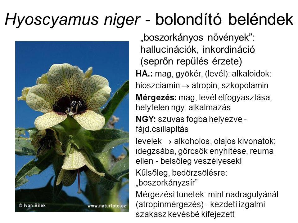 """Hyoscyamus niger - bolondító beléndek """"boszorkányos növények : hallucinációk, inkordináció (seprőn repülés érzete) HA.: mag, gyökér, (levél): alkaloidok: hioszciamin  atropin, szkopolamin Mérgezés: mag, levél elfogyasztása, helytelen ngy."""