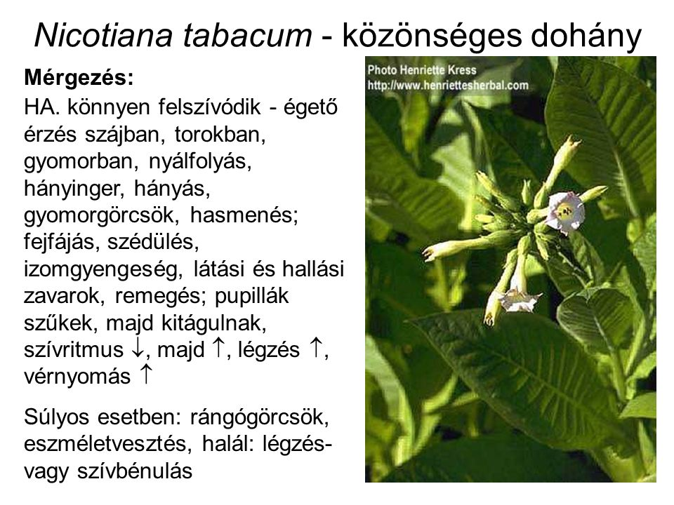 Nicotiana tabacum - közönséges dohány Mérgezés: HA. könnyen felszívódik - égető érzés szájban, torokban, gyomorban, nyálfolyás, hányinger, hányás, gyo
