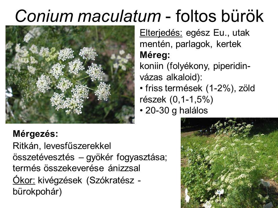 Conium maculatum - foltos bürök Elterjedés: egész Eu., utak mentén, parlagok, kertek Méreg: koniin (folyékony, piperidin- vázas alkaloid): friss termések (1-2%), zöld részek (0,1-1,5%) 20-30 g halálos Mérgezés: Ritkán, levesfűszerekkel összetévesztés – gyökér fogyasztása; termés összekeverése ánizzsal Ókor: kivégzések (Szókratész - bürokpohár)