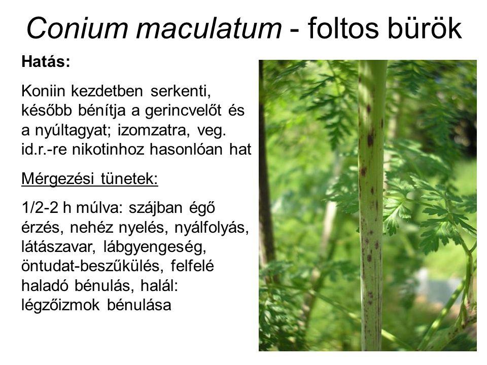 Conium maculatum - foltos bürök Hatás: Koniin kezdetben serkenti, később bénítja a gerincvelőt és a nyúltagyat; izomzatra, veg.