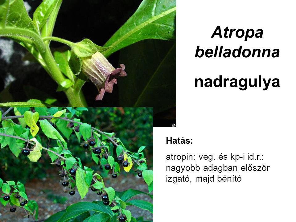 Atropa belladonna nadragulya Hatás: atropin: veg. és kp-i id.r.: nagyobb adagban először izgató, majd bénító