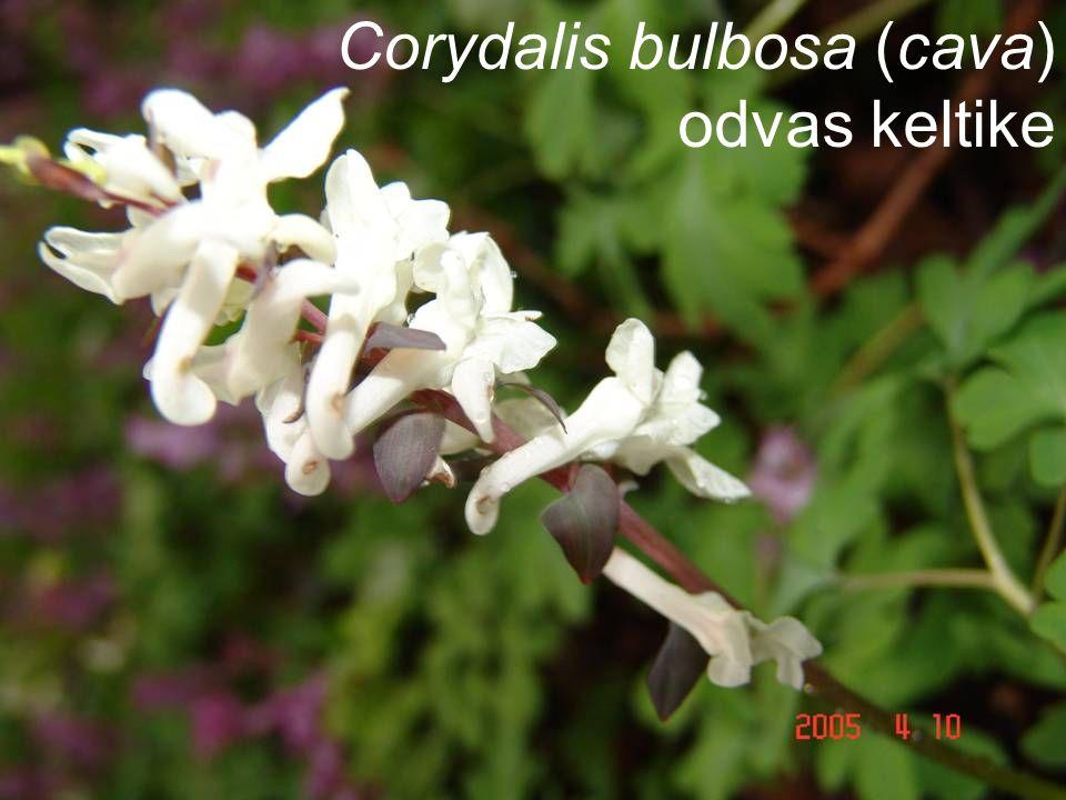 Corydalis bulbosa (cava) odvas keltike