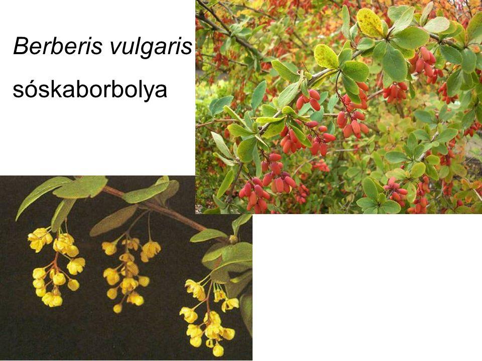 Berberis vulgaris sóskaborbolya