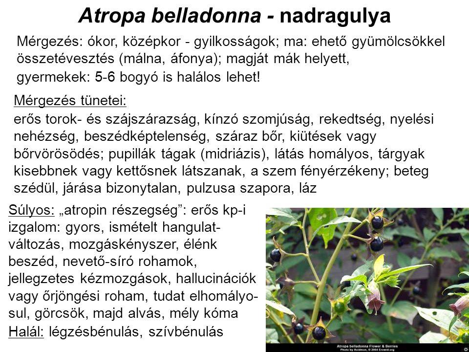 Atropa belladonna - nadragulya Mérgezés: ókor, középkor - gyilkosságok; ma: ehető gyümölcsökkel összetévesztés (málna, áfonya); magját mák helyett, gyermekek: 5-6 bogyó is halálos lehet.